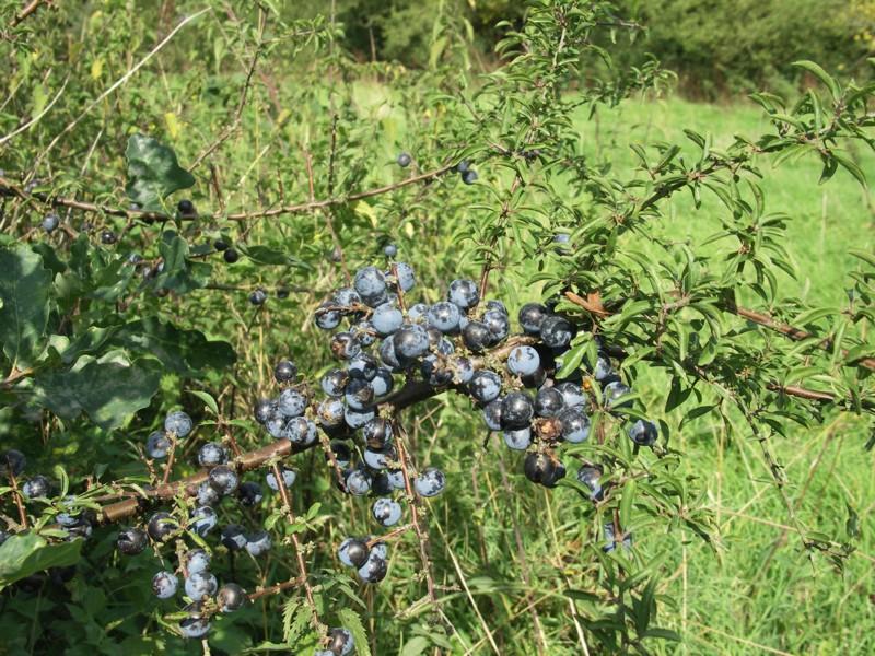 What do sloe berries look like 10